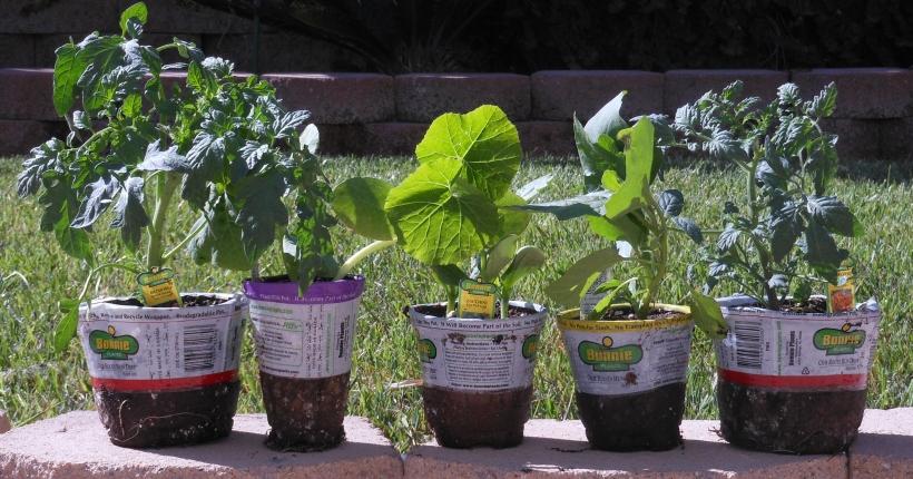 2 tomato plants, 1 eggplant, 1 zucchini, and 1 spaghetti squash.