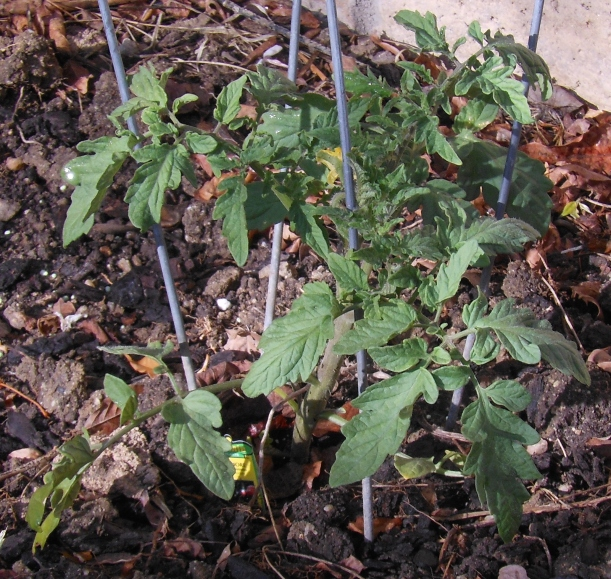 I planted two tomato plants.  They're growing and are starting to get flowers already!  Click here to see details.