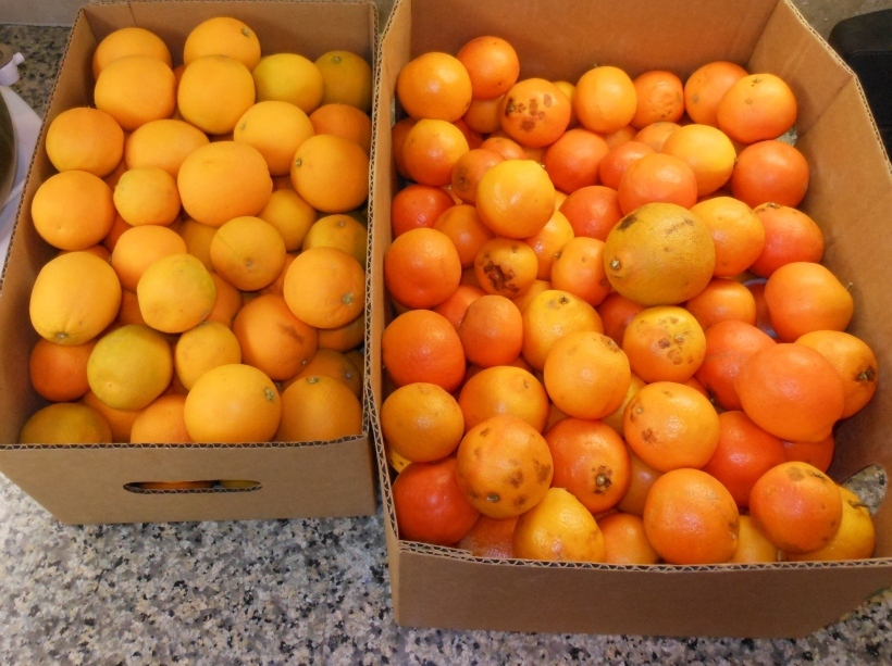 "This must be at least 20 pounds of oranges.  Maybe I went a little overboard and should have bought just one box.  Some of these are ""less than perfect"" on the outside, but they are yummy on the inside!"