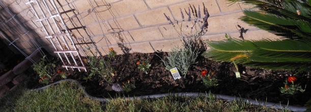 I planted lavender, marigolds, and some seeds (green beans and carrots).