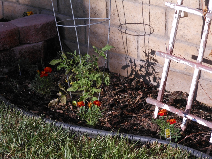 My tomato plants are coming along, and I've added some marigolds to keep the bees happy.  Well, that and to keep the rabbits away.