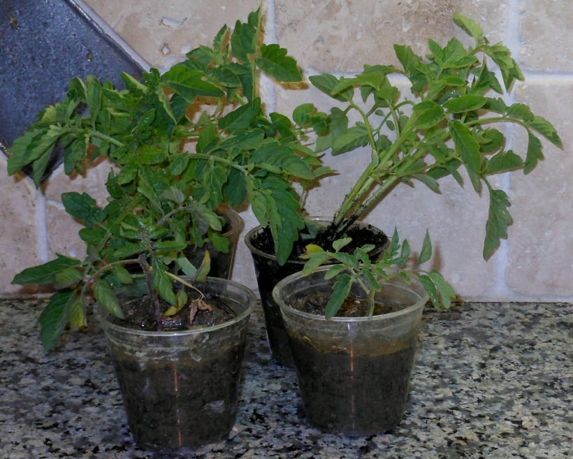 Look at those beauties!  4 Gorgeous Heirloom Tomato Plants!